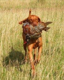 Kristo - Warm Pheasant 1