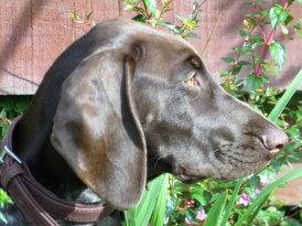 GermanPointer_AElwood19