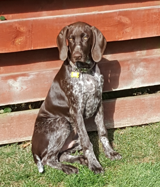 GermanPointer_AElwood20