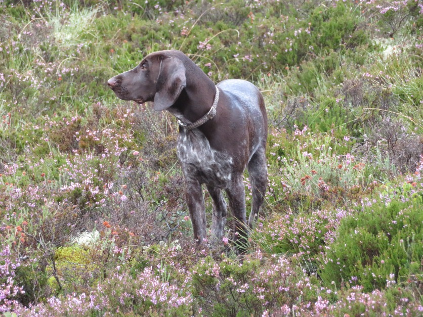 GermanPointer_AElwood25