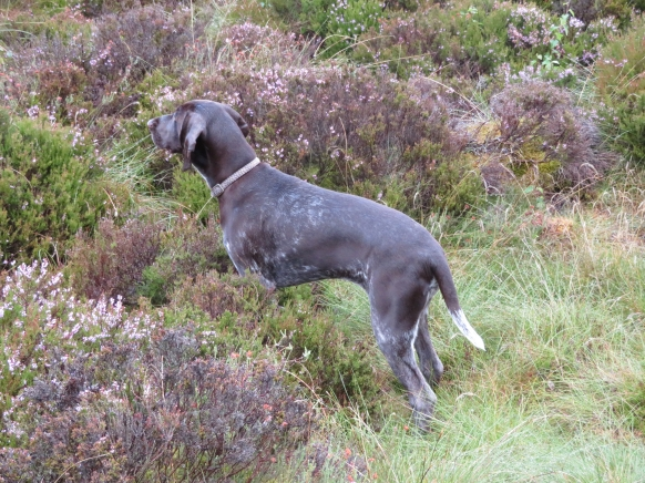 GermanPointer_AElwood24