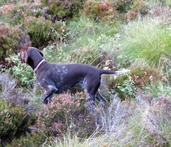 GermanPointer_AElwood28-1