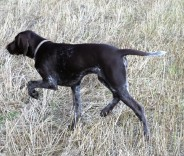 GermanPointer_AElwood31